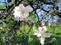 Apfelblüte1