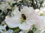 Bienen auf der Apfelblüte
