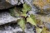 Efeu an Steinmauer