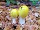 Gelbe Pilze