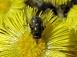 Grüne Fliege auf Huflattich