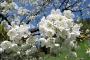 Kirschblüte in Triberg
