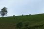 Kühe bei Ittenschwand