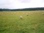 Schafe auf dem Klippeneck