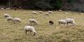 Schafe bei Oberdigisheim