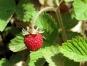 Wald Erdbeeren